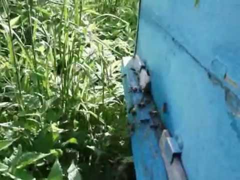 Пчеловодство. Роевой период. 8 признаков-примет (6,7).