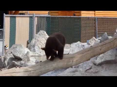 Clumsy Baby Bear at Yellowstone Bear World - Part 2