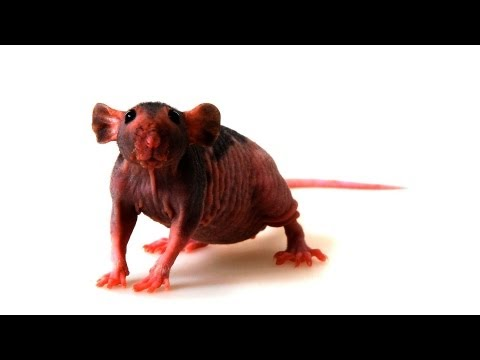 Hairless vs. Furry Pet Rats | Pet Rats