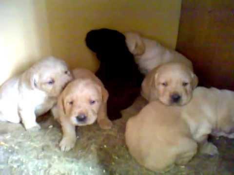 Labrador Puppies 20 Days Old Labrador Puppies 20 Days