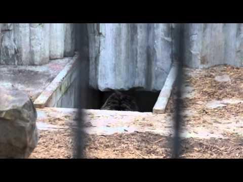 2011年5月16日 旭山動物園 エゾヒグマのくまぞう登場