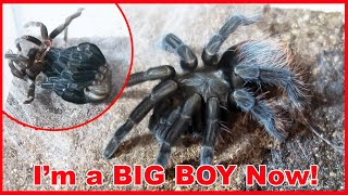 Tarantula Molting and Doubles in Size!