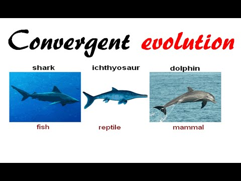 Convergent Evolution Example Convergent Evolution