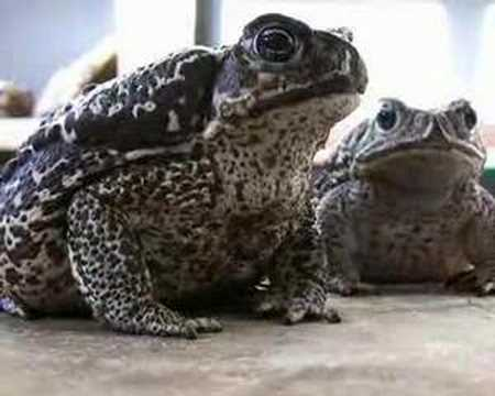 King of bufos - bufo xxxl marinus and bufo paracnemis