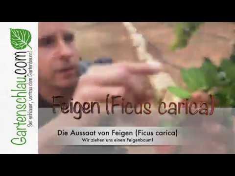 Alles über Feigen - Die Aussaat von Feigen (Ficus carica) - Wir ziehen uns einen Feigenbaum!