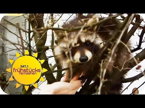 Exotische Tiere In Der Wohnung - Was Ist Erlaubt? | SAT.1 Frühstücksfernsehen