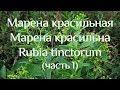Марена красильная Марена красильна Rubia Tinctorum часть 1 mp3