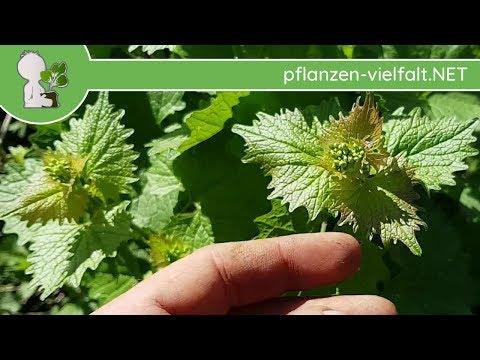 Knoblauchsrauke - Jungpflanze - 13.04.18 (Alliaria petiolata) - Wildpflanzen-Bestimmen