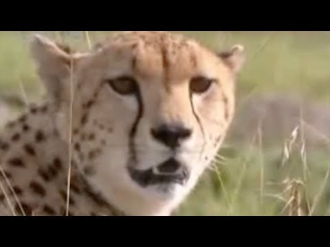 Baby cheetah vs baboon - BBC wildlife Video