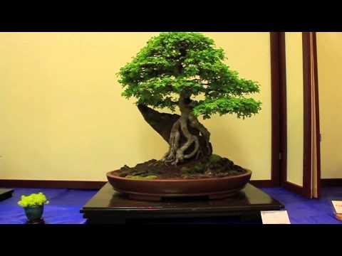 qld bonsai show 2012