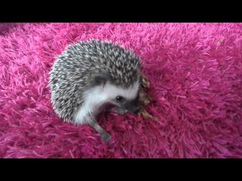Logan the hedgehog