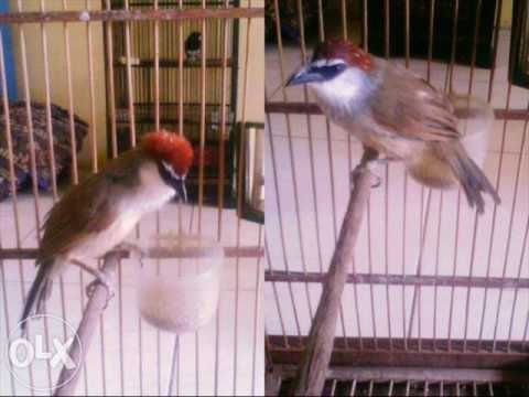 Kicauan Burung Kaso Durasi Panjang Mp3