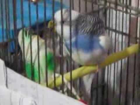 Попугай Кеша кормит... дружка или подружку