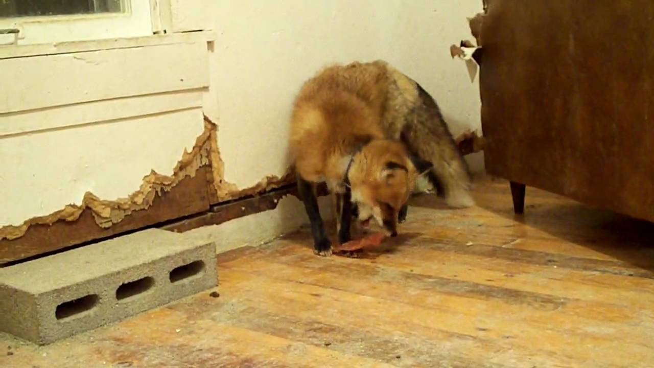 Pet Red Fox Ron Gets Petco Chicken Strips Yum YouTube