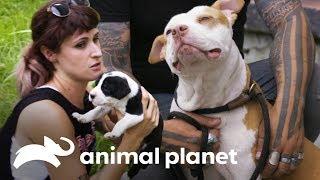 Os 3 resgates mais comoventes | Pit bulls e condenados | Animal Planet Brasil