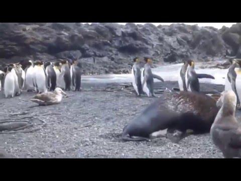 Acoso Polar - León Marino Acosando Pinguino Rey