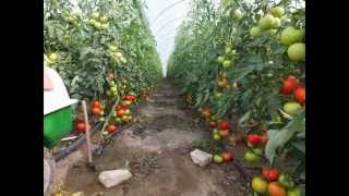Greenhouse tomato production in 2014 USAGRO | TURKEY