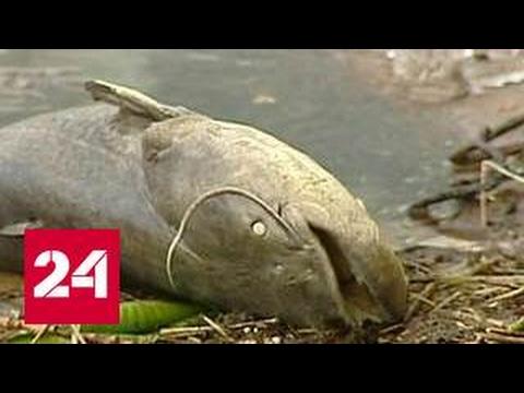 Химкинское водохранилище превратилось в рыбье кладбище