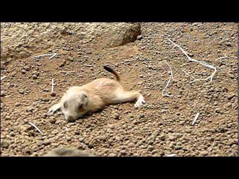 プレーリードッグの赤ちゃん。Baby Prairie Dog.Edogawa Zoo.#06