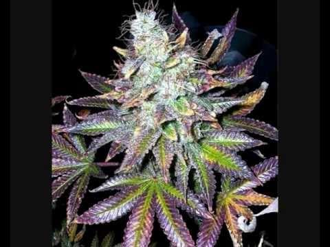 Cannabis Sorten - Alle Marijuana Typen auf einen Blick - Marihuana strains
