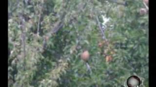 Puntual TV [20090916] Se desperdician árboles frutales en Hueyacatitla por la falta de maquinaría para recolección