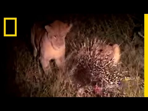 Porcupine vs. Lion Video