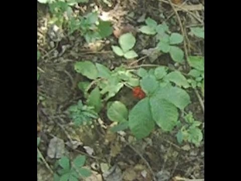 Ginseng hunting in west virginia in fall of 2012 youtube for West virginia out of state fishing license