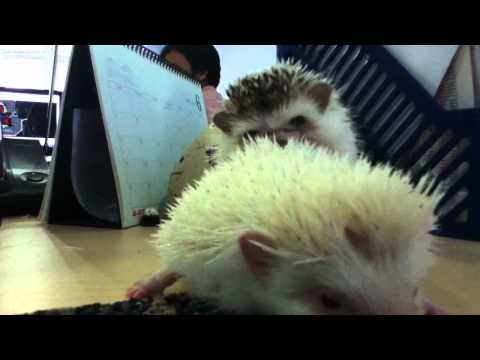 Hedgedog Xxx video