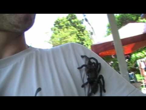 Thai wildlife: Haplopelma minax.. Lesser Thailand black bird-eating tarantula