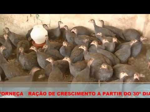 CRIAÇÃO DE CAPOTES - RANCHO SÃO PEDRO