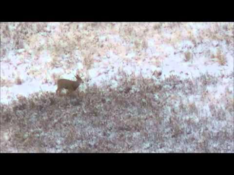Long Range Hunting 616yrd Mule Deer Buck