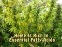 Medical Marijuana - Hemp: A Peaceful Solution: USA Hemp Museum