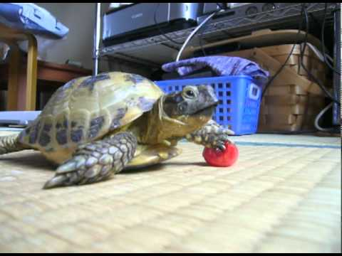 The Sequel:Tortoise Chasing Tomato リクガメ、トマトを追う Part2