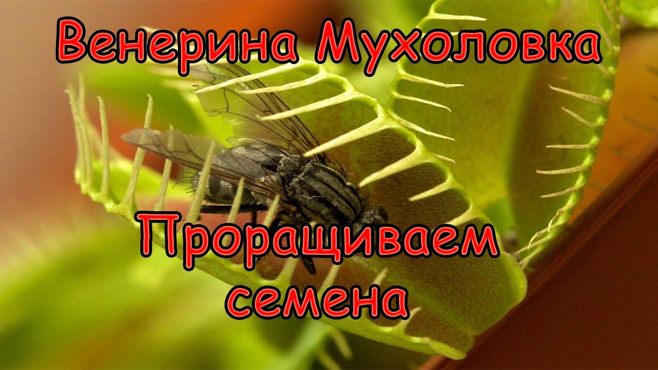 Как сажать цветок мухоловка 3