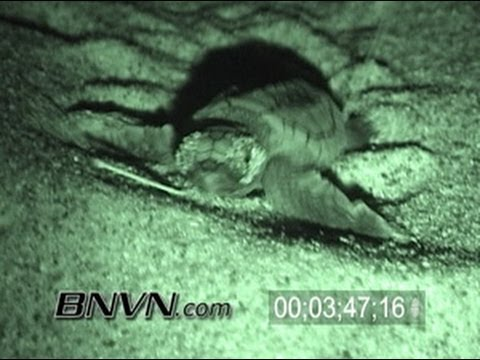 9/15/2005 Baby Loggerhead Sea Turtle Hatching Video