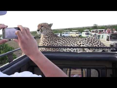 Cheetah on jeep, face to face, Masai Mara, Kenya