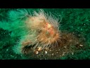 Lembeh strait Hairy Frogfish Hunting