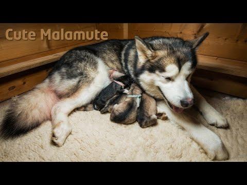 Alaskan Malamute giving birth to six puppies