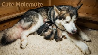 Download Song Alaskan Malamute giving birth to six puppies Free StafaMp3