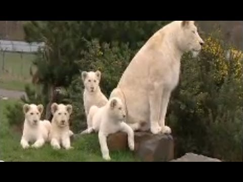 White Lion Cubs Birth Part 1 - Actual Birth video