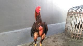 Ayam bangkok pukul badan mau dijual Rp 2.000.000
