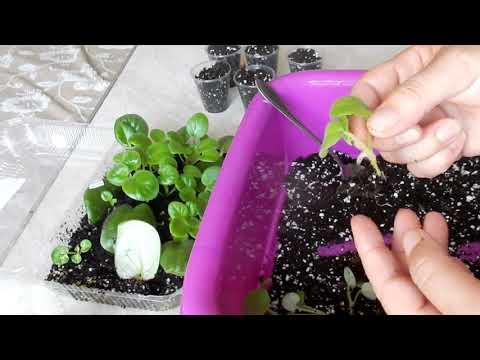Фиалки подкормка во время выращивания из листочка 14
