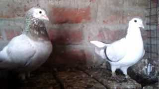 Agra beautiful pigeons India-Indian