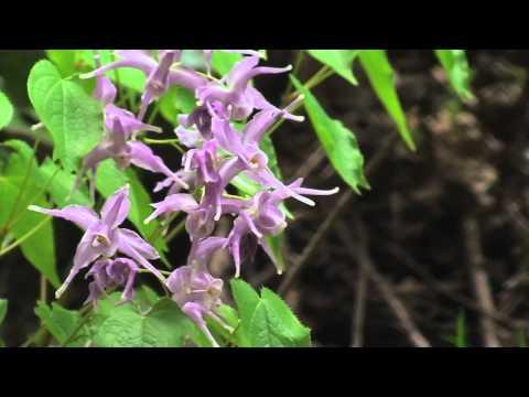 揖斐川町 渓流・春の花々01 「碇草(イカリソウ)」