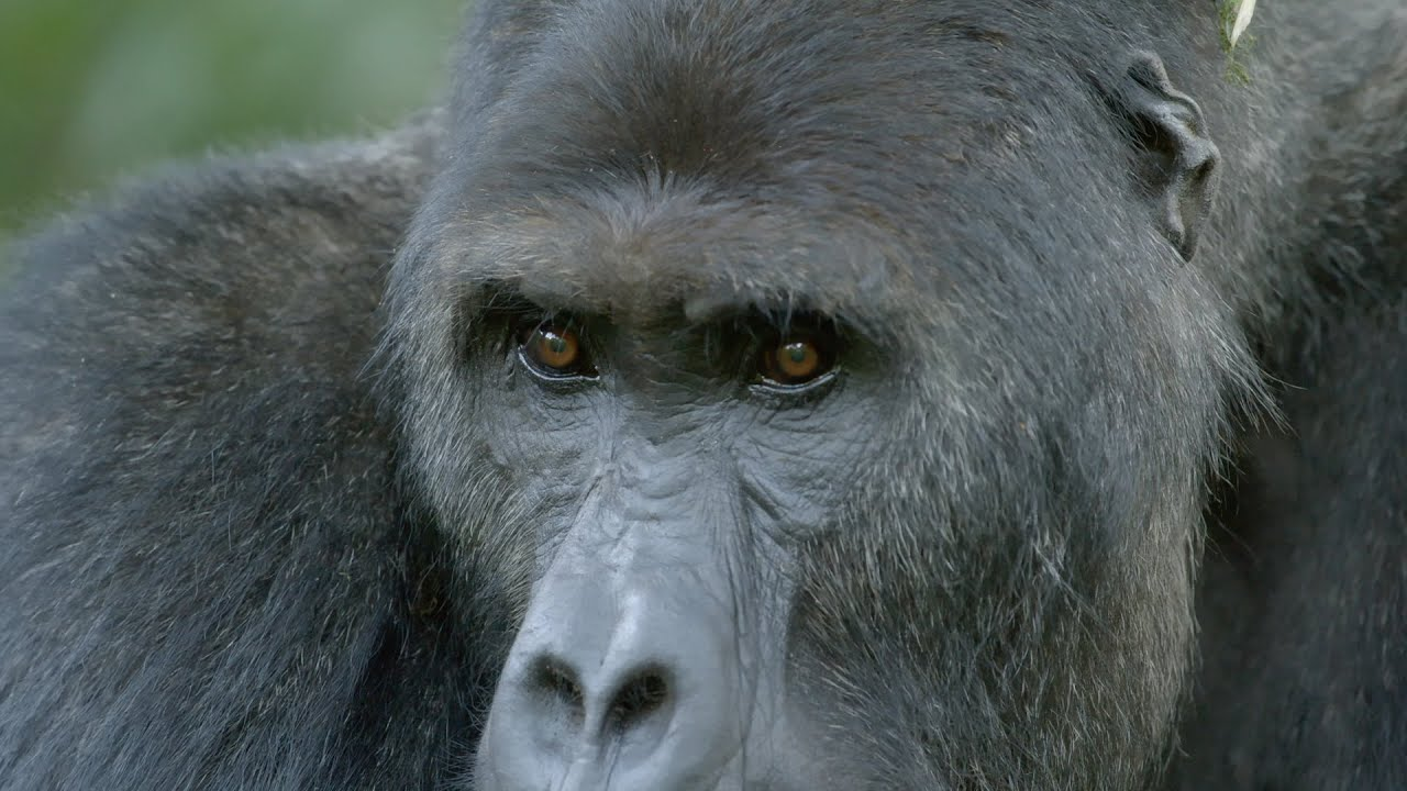 Close encounter with Chimanuka the Gorilla - Gorilla Family & Me: Episode 2 Preview - BBC Two