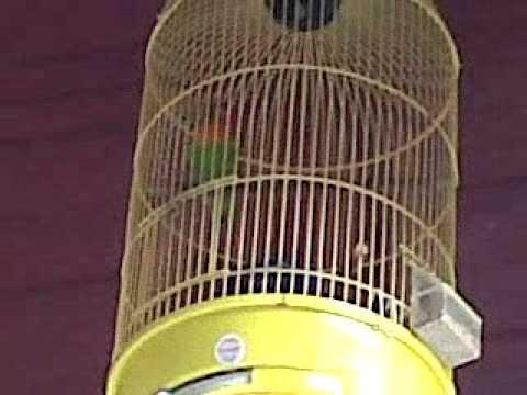 Lovebird Bang Bross Pengen Di Lombakan Hasil Ternakan Sendiri video