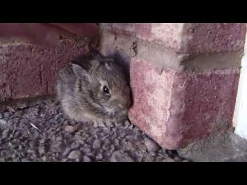Catching a Baby Screaming Bunny