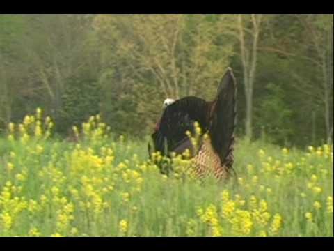 Kentucky Turkey Hunting - Jason's 2008 Gobbler Video