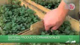 Produccion de Plantas  Ornamentales en el D F