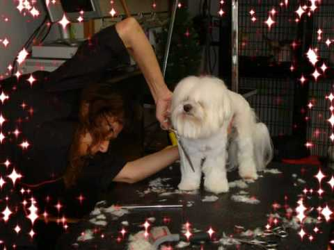 Keno's Pet Grooming How to Groom a Maltese Puppy Cut Style
